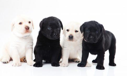 ラブラドールレトリバーの子犬の画像
