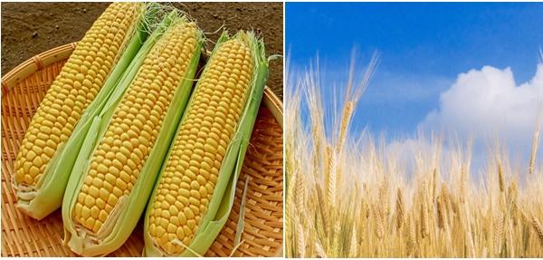 トウモロコシと小麦畑の画像