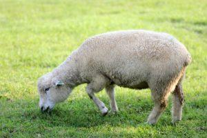 子羊の画像