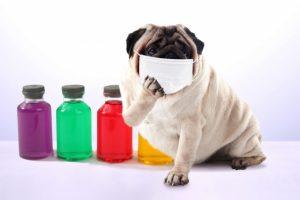 マスクをしているパグ(犬)の画像