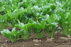 甜菜(サトウダイコン)の画像