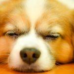 眠っている犬の画像