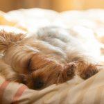 寝ているヨークシャーテリアの画像
