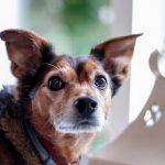 カメラ目線の犬の画像