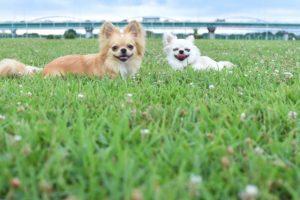 芝生でにっこり笑うチワワの画像