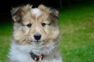 シェットランドシープドッグの子犬の画像