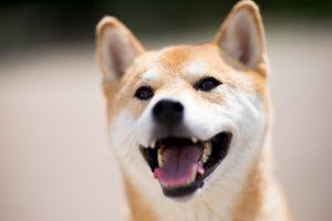 笑う柴犬の画像