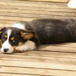 お昼寝前の犬の画像