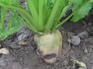 サトウダイコン(甜菜)の画像