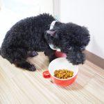 ご飯の前でためらう犬の画像