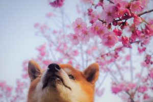 桜と柴犬の画像