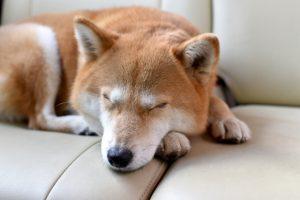寝ている柴犬の画像