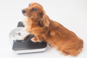 体重計に乗るミニチュアダックスフンドの画像