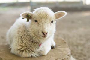 仔羊(ラム)の画像