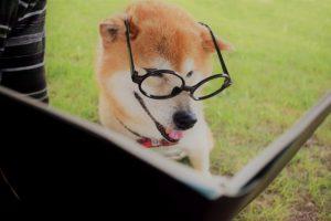 読書する柴犬の画像