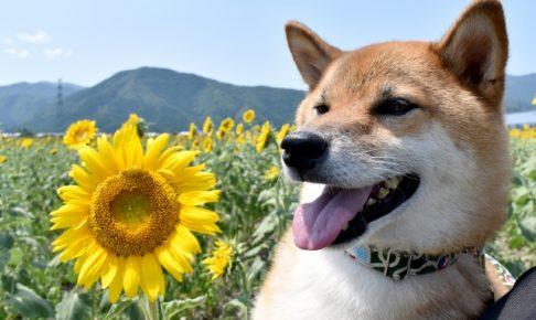 ひまわりと笑顔の柴犬の画像
