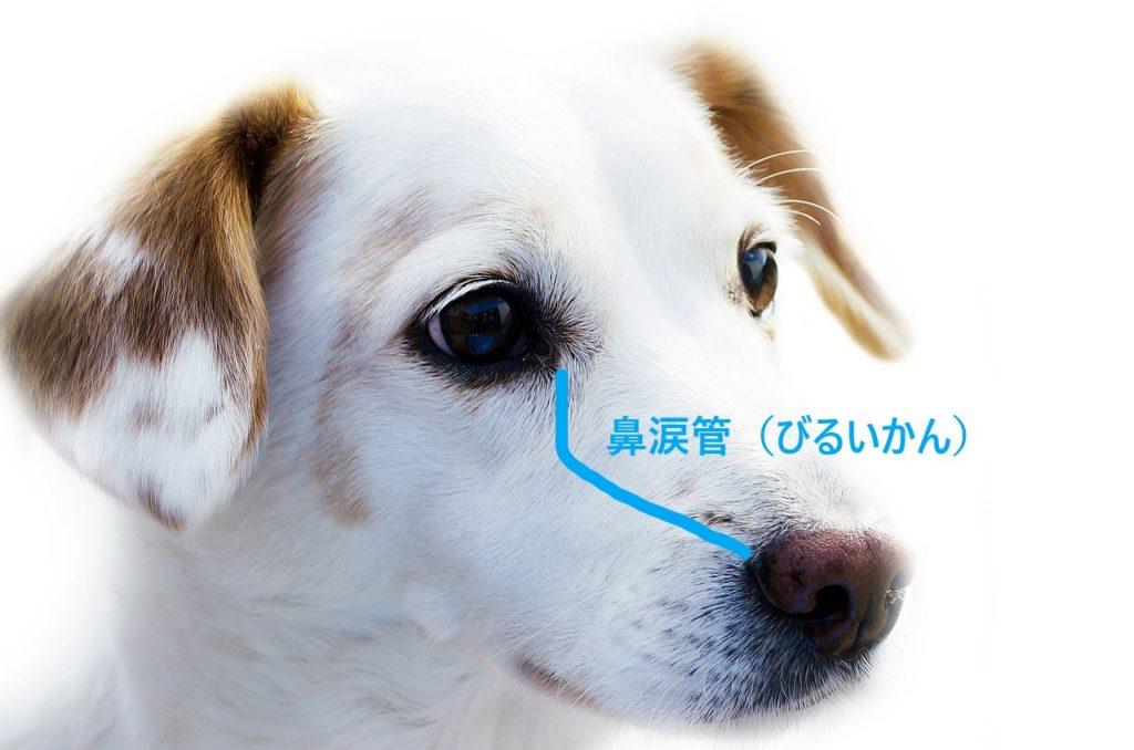 犬の鼻涙管の画像